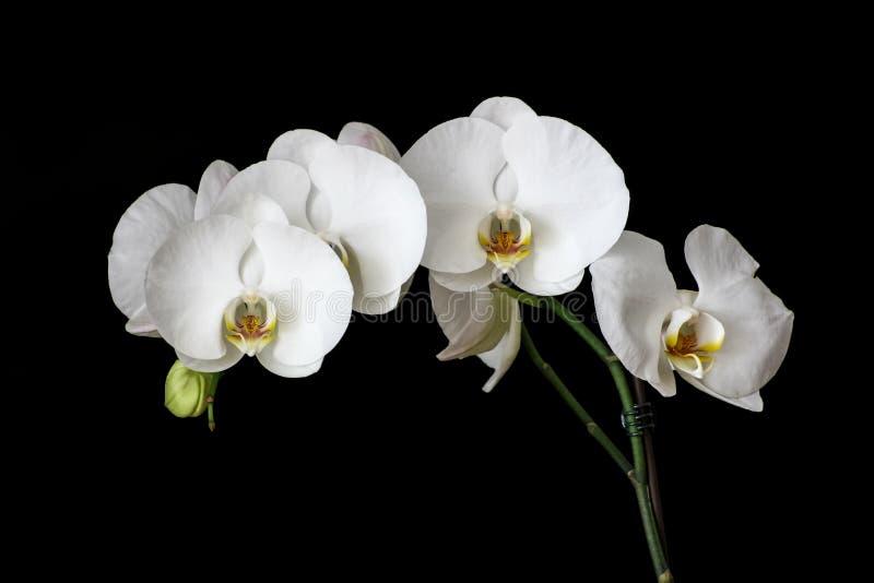 Orquídeas brancas com fundo preto imagem de stock royalty free