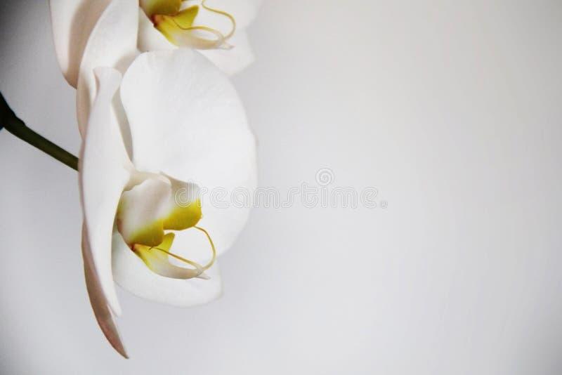 Orquídeas brancas em um fundo claro fotografia de stock royalty free