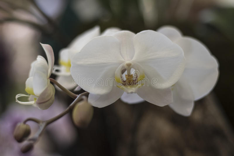 Orquídeas brancas na mostra da orquídea de Toronto fotos de stock