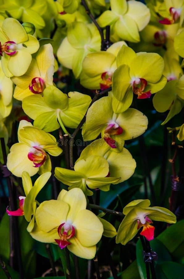 Orquídeas coloridas da Índia imagem de stock royalty free