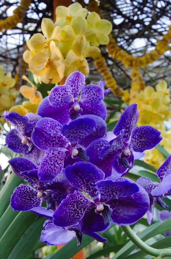 Orquídeas coloridas da Índia imagens de stock royalty free