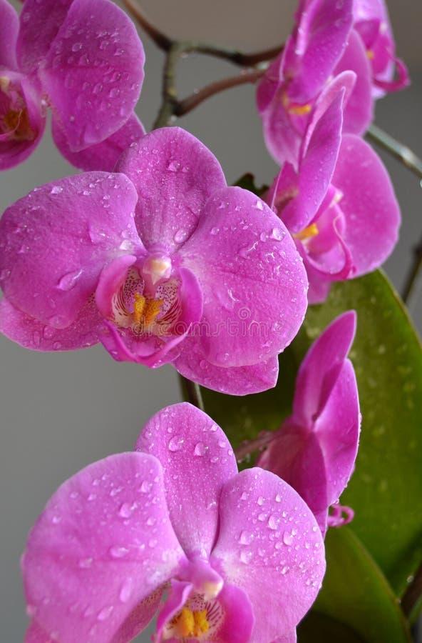 Orquídeas cor-de-rosa fotografia de stock