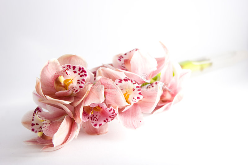 Orquídeas cor-de-rosa fotografia de stock royalty free