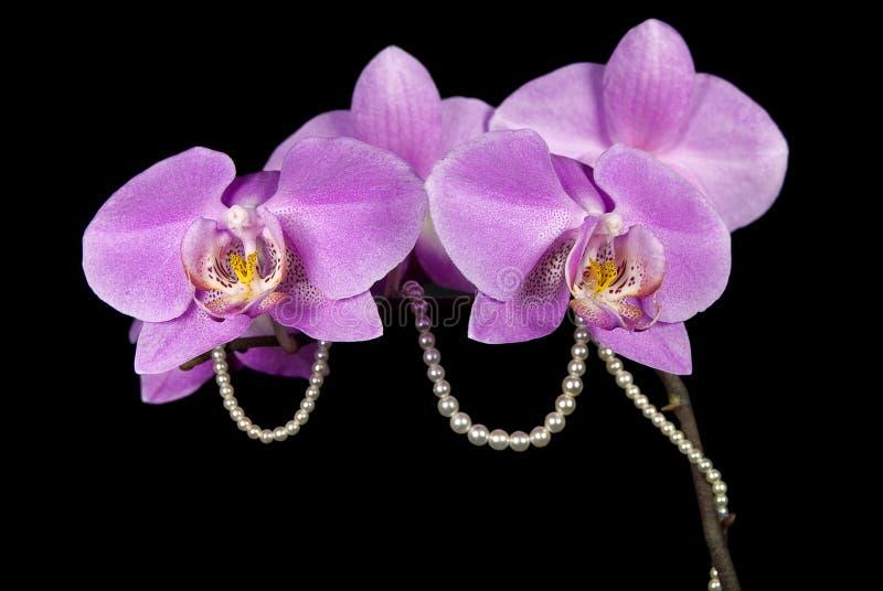 Orquídeas cor-de-rosa com pérolas fotografia de stock royalty free