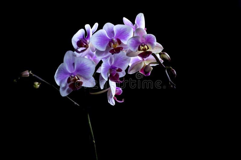 Orquídeas cor-de-rosa elegantes isoladas no fundo preto foto de stock royalty free