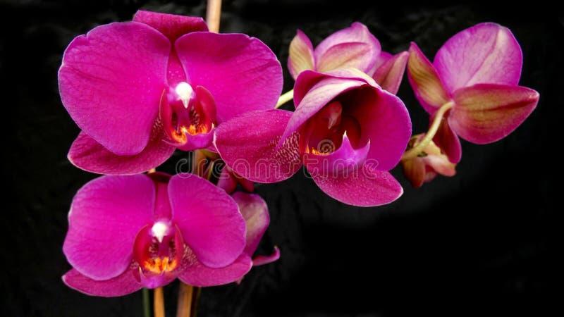 Orquídeas cor-de-rosa na flor fotografia de stock royalty free