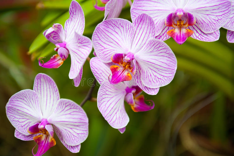 Orquídeas de florescência imagens de stock royalty free