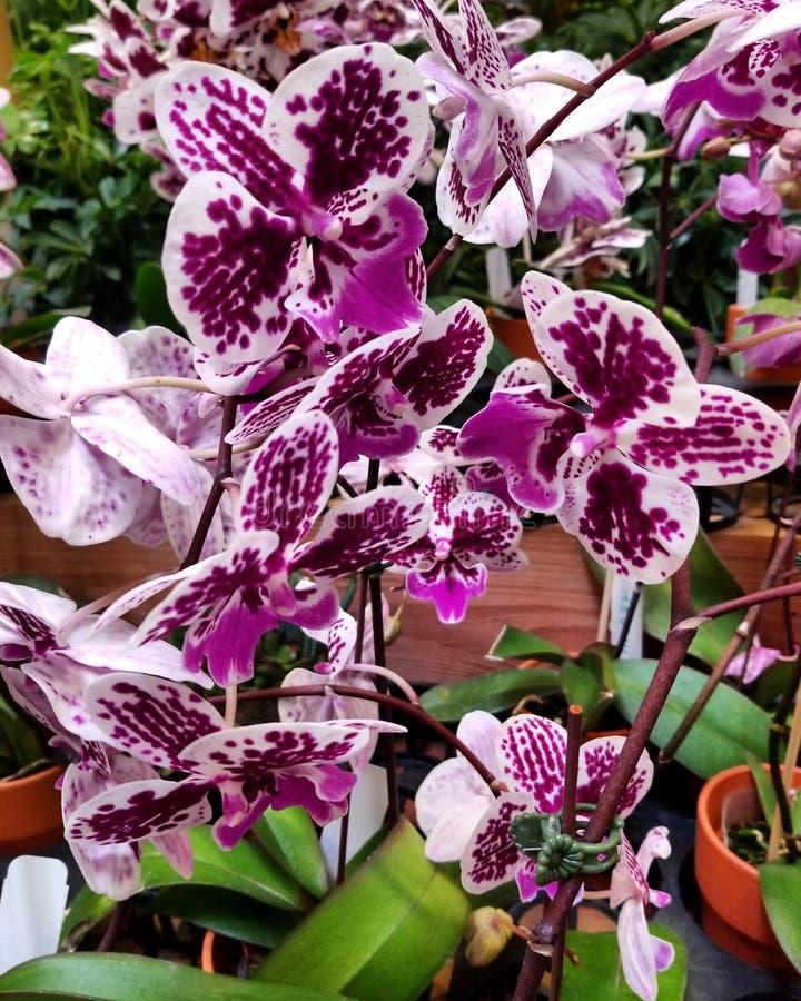 Orquídeas de la belleza fotos de archivo