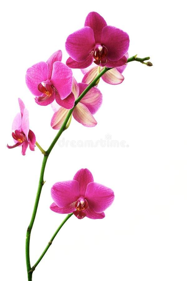 Orquídeas de la flor fotografía de archivo libre de regalías