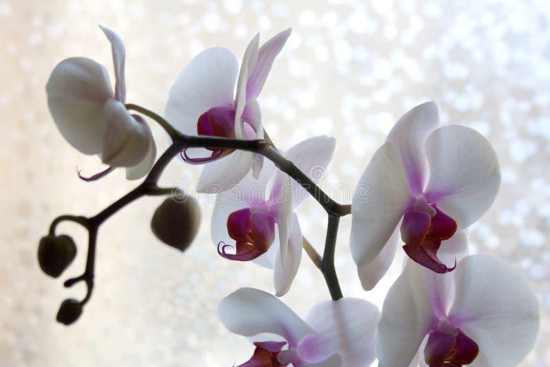 Orquídeas de polilla con el detalle púrpura y blanco de los pétalos fotos de archivo