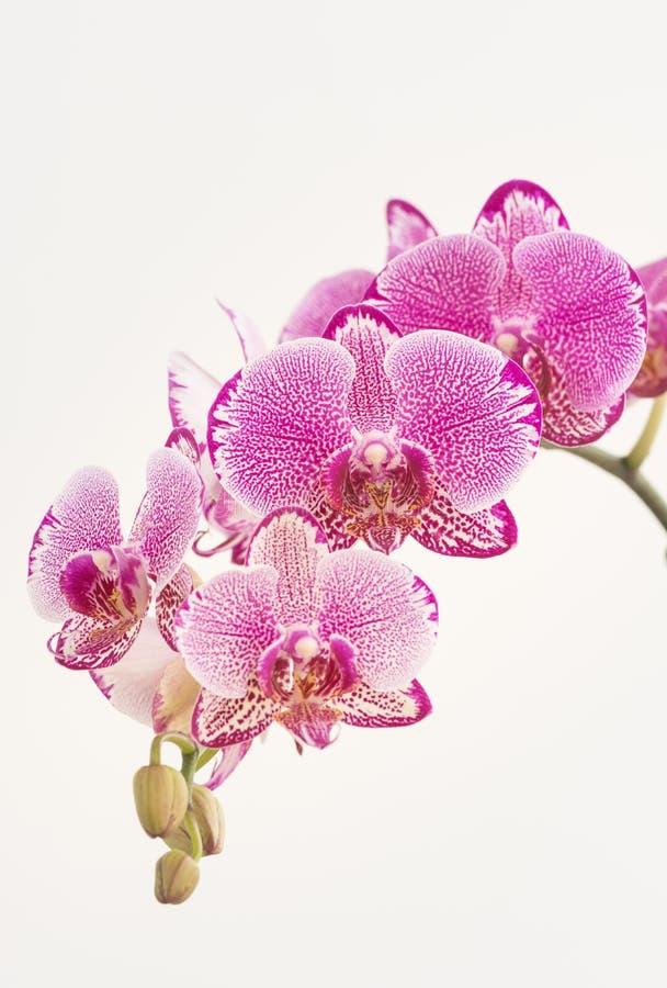 Orquídeas de polilla púrpuras y blancas fotos de archivo libres de regalías