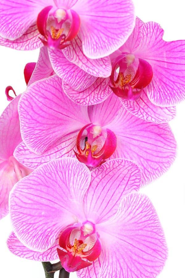 Orquídeas de polilla rosadas imágenes de archivo libres de regalías