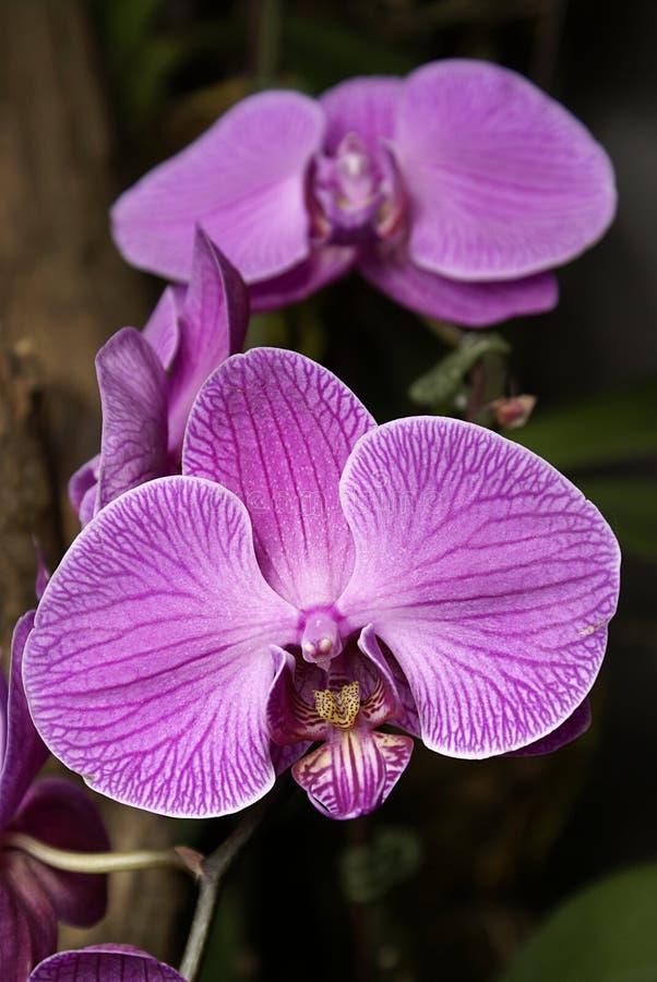 Orquídeas de Sogo Yukidian foto de archivo