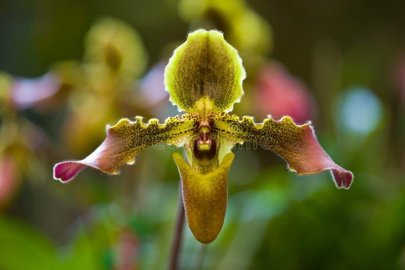 Orquídeas de Tailândia em um selvagem fotografia de stock