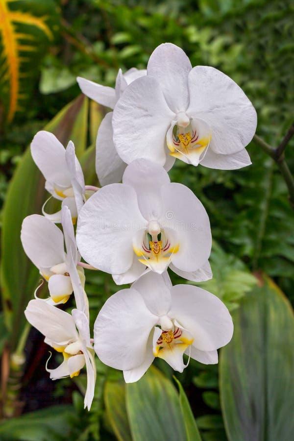 Orquídeas de traça brancas fotos de stock