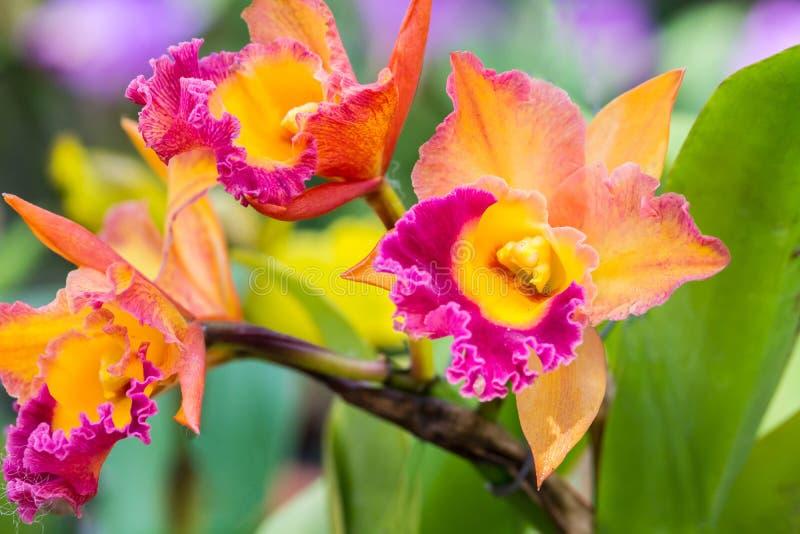 Orquídeas de Vanda fotografía de archivo libre de regalías