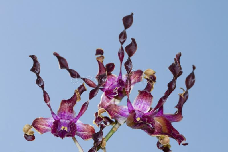 Orquídeas del Dendrobium imagen de archivo