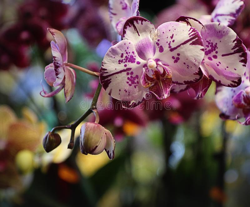 Orquídeas del Phalaenopsis púrpuras y blanco moteado foto de archivo