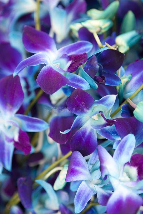 Orquídeas do azul Purplish fotos de stock