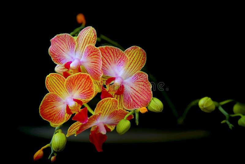 Orquídeas do Dendrobium fotos de stock