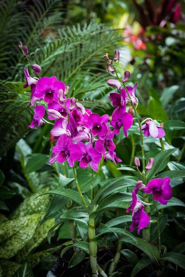 Orquídeas dos Dendrobiums no jardim imagens de stock royalty free