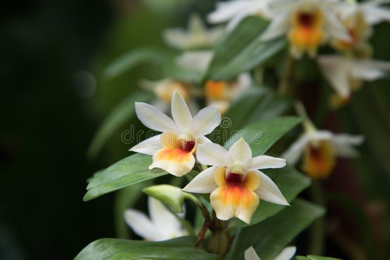 Orquídeas dos Dendrobiums no jardim imagens de stock