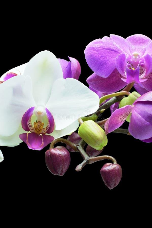 Orquídeas e botões imagem de stock