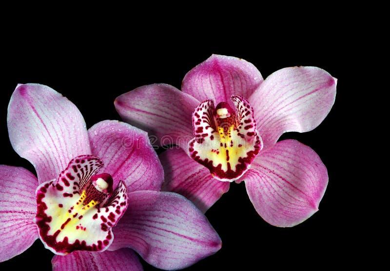 Orquídeas em um fundo preto imagens de stock royalty free