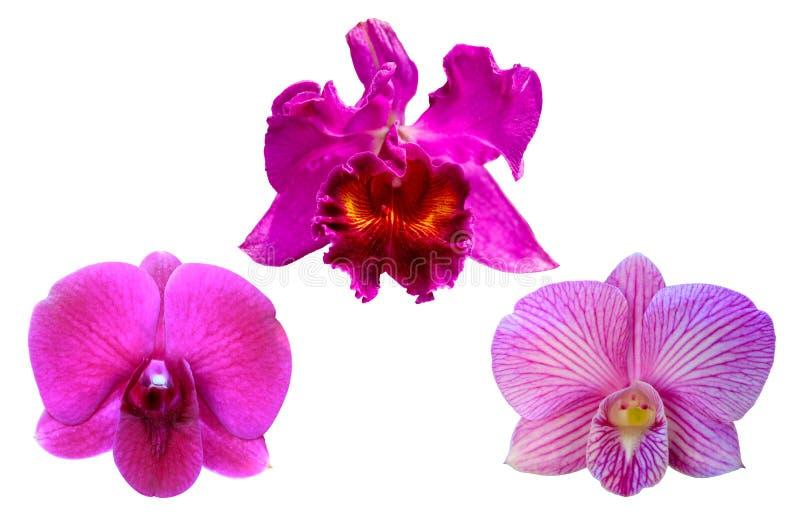 Orquídeas en el fondo blanco imagen de archivo