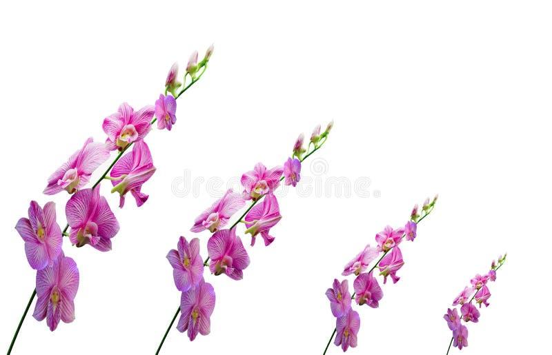 Orquídeas en el fondo blanco imágenes de archivo libres de regalías
