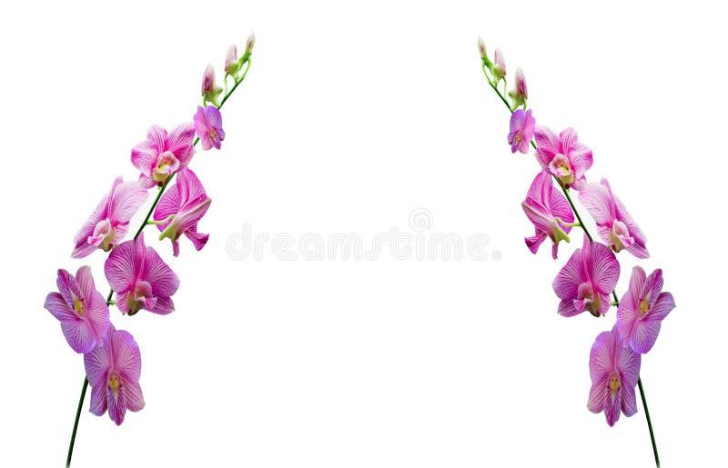 Orquídeas en el fondo blanco imagenes de archivo