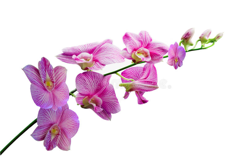 Orquídeas en el fondo blanco fotos de archivo libres de regalías
