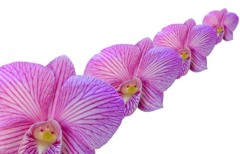 Orquídeas en el fondo blanco imagen de archivo libre de regalías