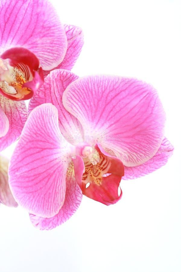 Orquídeas exóticas imagens de stock