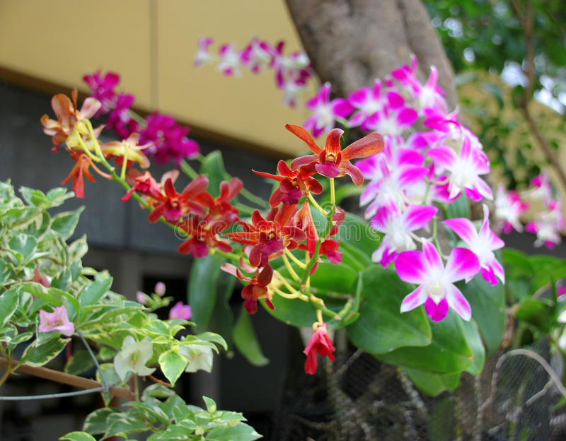 Orquídeas frescas da cor cultivadas na árvore imagens de stock royalty free