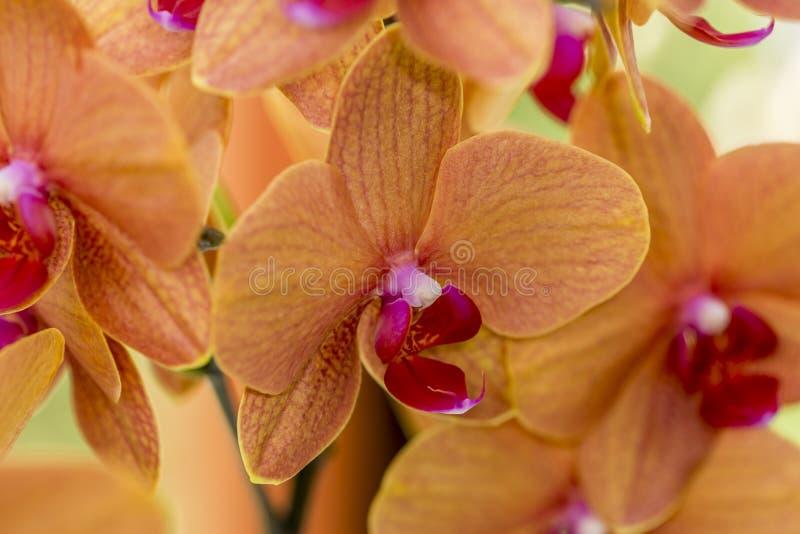 Orquídeas hermosas con los pétalos anaranjados y rosados del pistilo imagenes de archivo