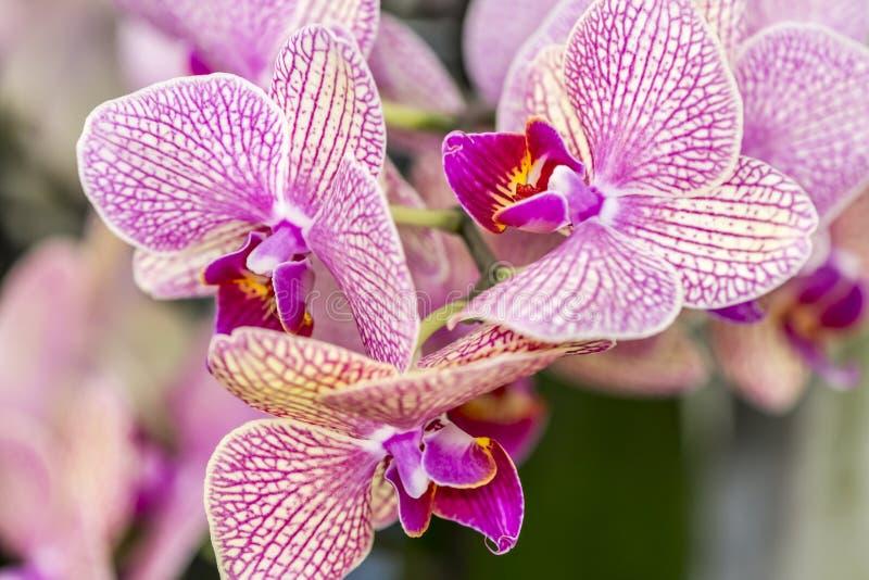 Orquídeas hermosas con una combinación de colores rosados, blancos y amarillos imagenes de archivo