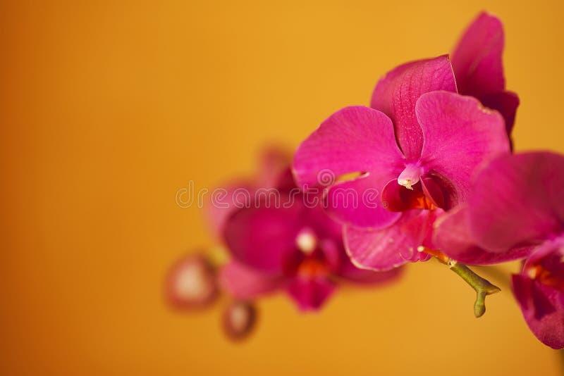 Orquídeas isoladas no fundo amarelo foto de stock royalty free