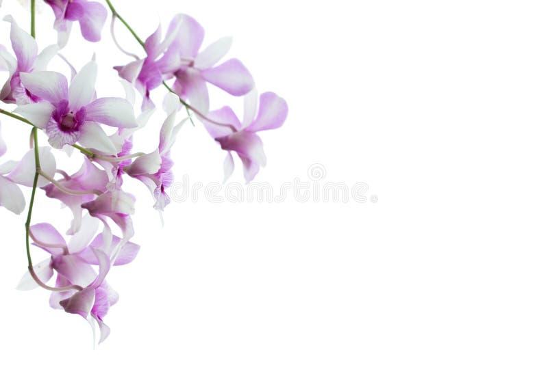 Orquídeas isoladas no fundo branco foto de stock