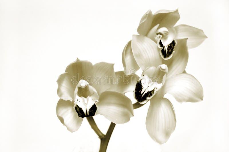 Orquídeas no Sepia imagens de stock royalty free