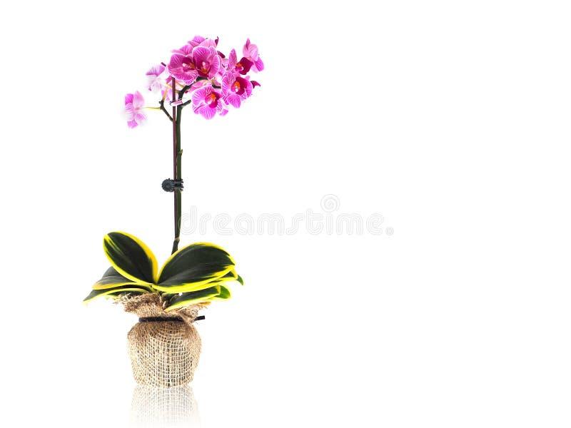 Orquídeas púrpuras en la maceta wraping por el saco de la arpillera imagen de archivo libre de regalías