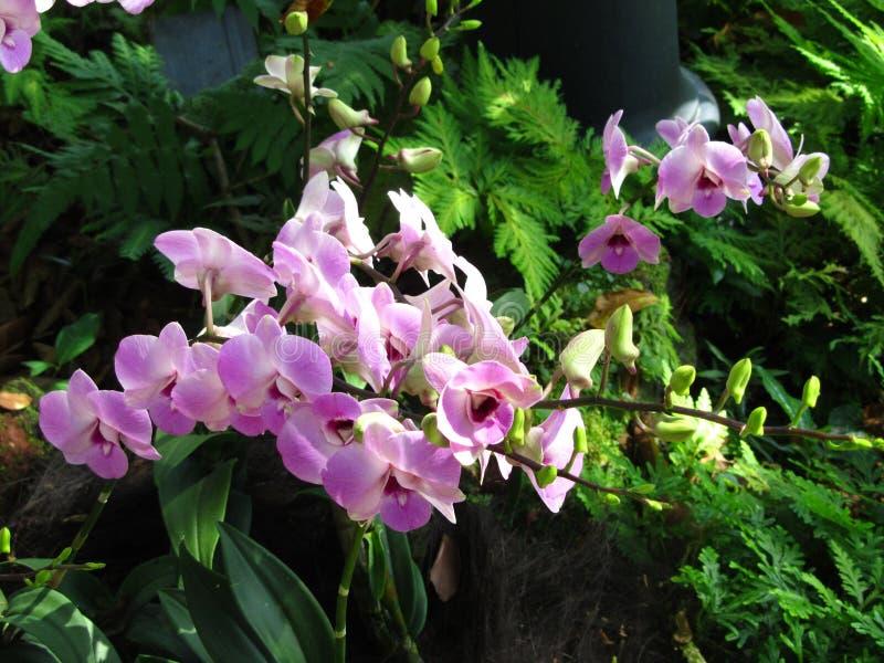 Orquídeas púrpuras rosáceas imagenes de archivo