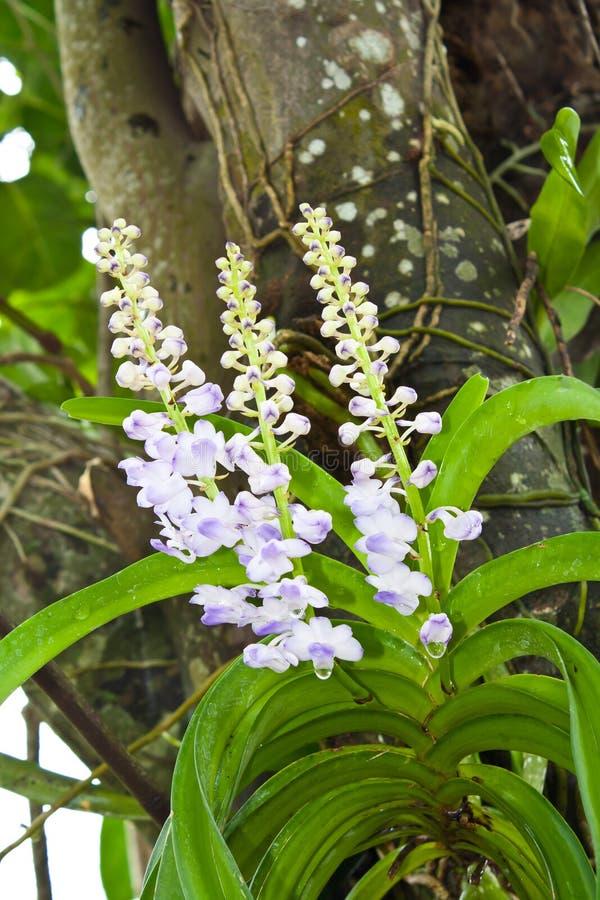 Orquídeas que cuelgan de un árbol fotos de archivo