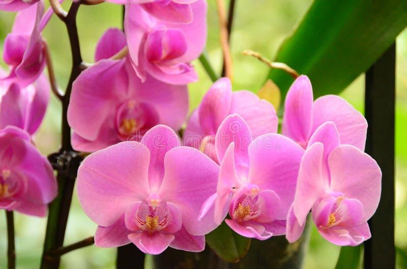 Orquídeas rosadas foto de archivo libre de regalías