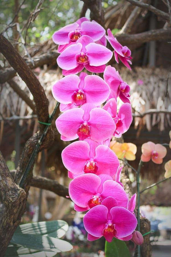 Orquídeas rosadas coloridas dulces enormes del phalaenopsis de la inflorescencia con la línea floración del grupo del rosa y ejec imágenes de archivo libres de regalías