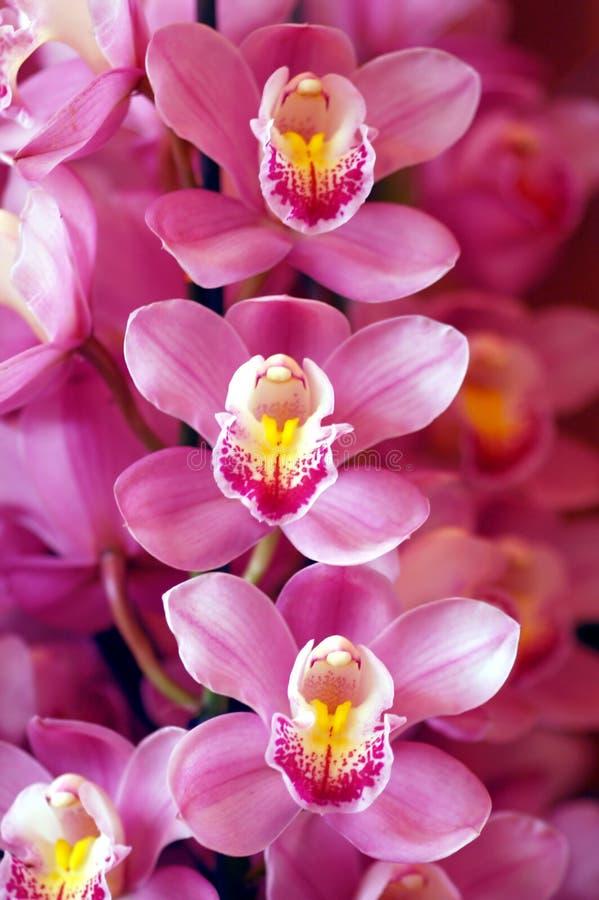 Orquídeas rosadas hermosas imagen de archivo