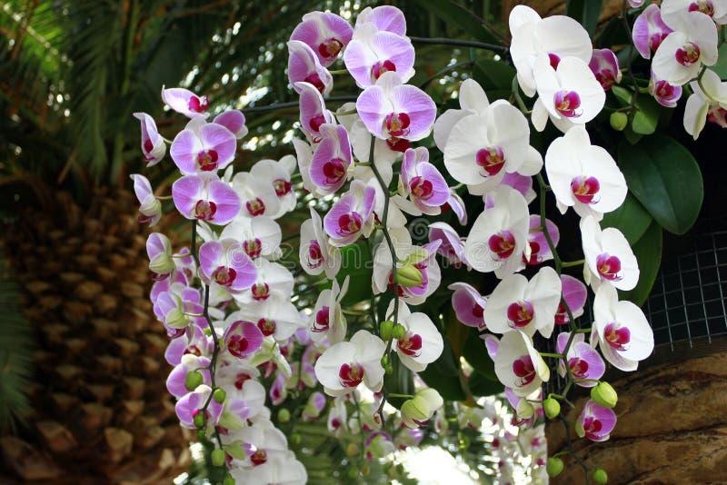 Orquídeas rosadas y blancas imágenes de archivo libres de regalías