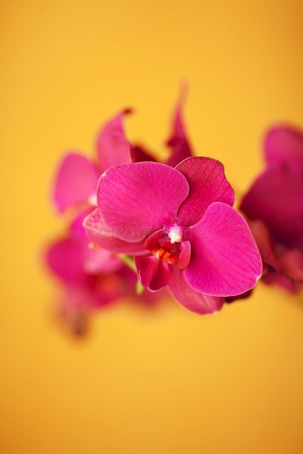 Orquídeas roxas bonitas fotografia de stock royalty free