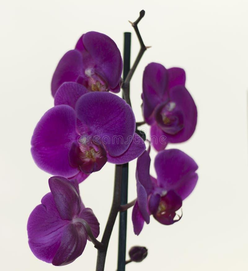 orquídeas roxas bonitas na janela fotografia de stock