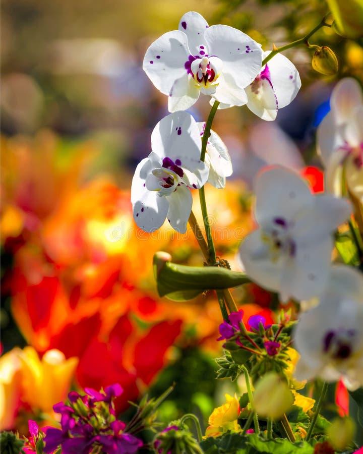Orquídeas e Daffodils foto de stock